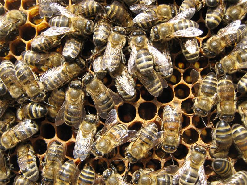 Размножение пчелиной семьи