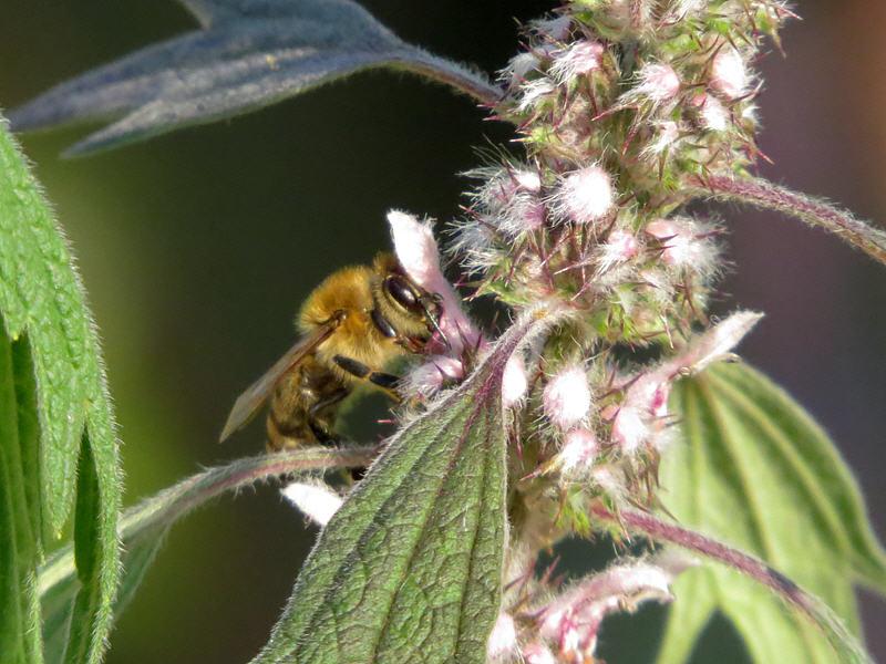 Пустырник и пчела
