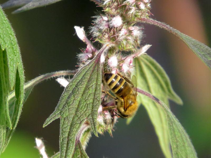 Пчела на цветках пустырника