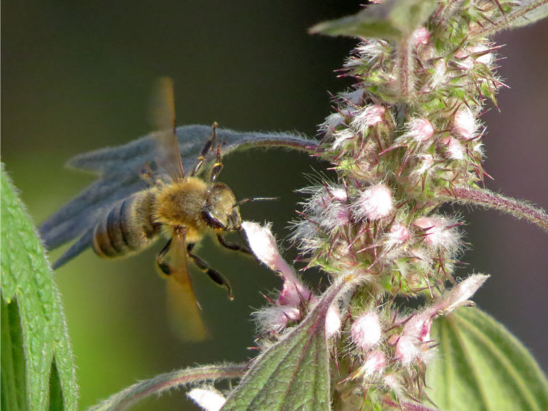 Пустырник пятилопастный и пчела