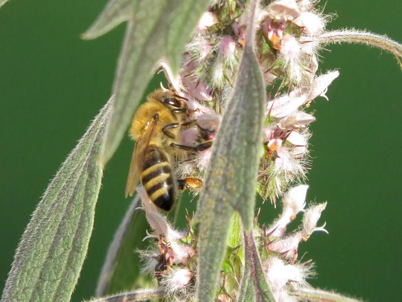Пчела и пустырник пятилопастный