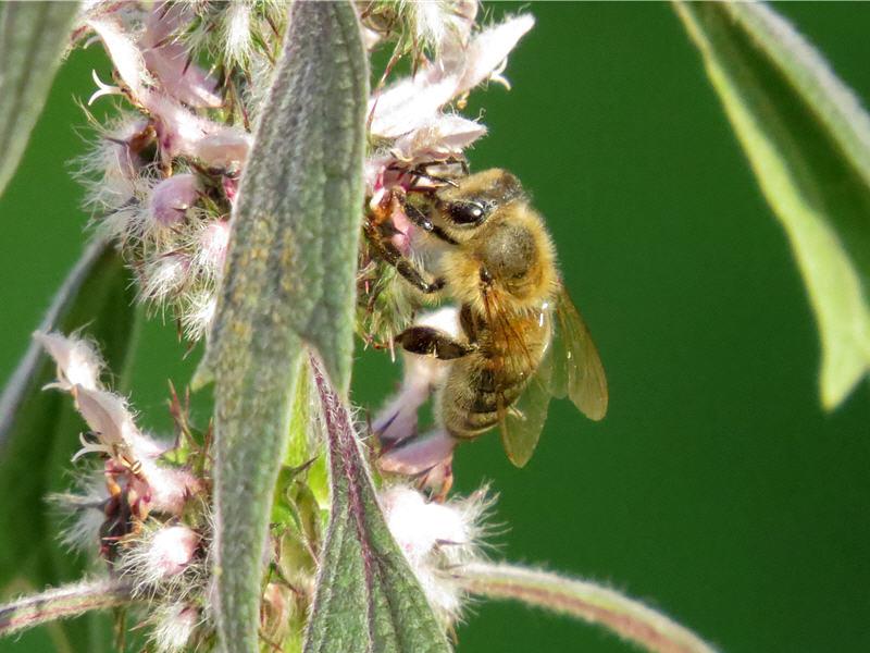 Медоносная пчела на цветках пустырника