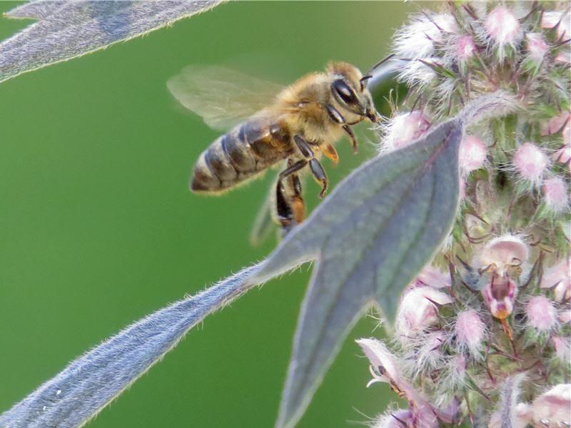 Посещение пустырника пчелой