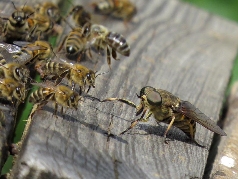 Бычий слепень пришёл за мёдом?