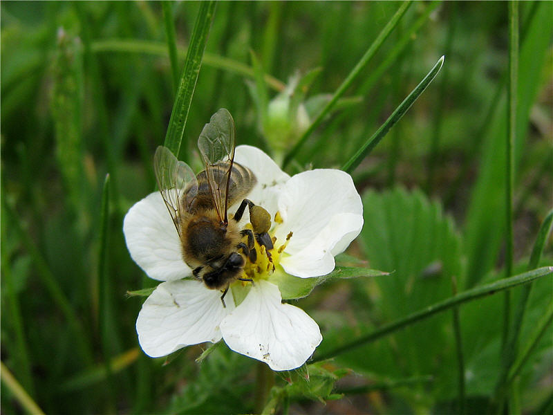 Пчела на цветке земляники зелёной