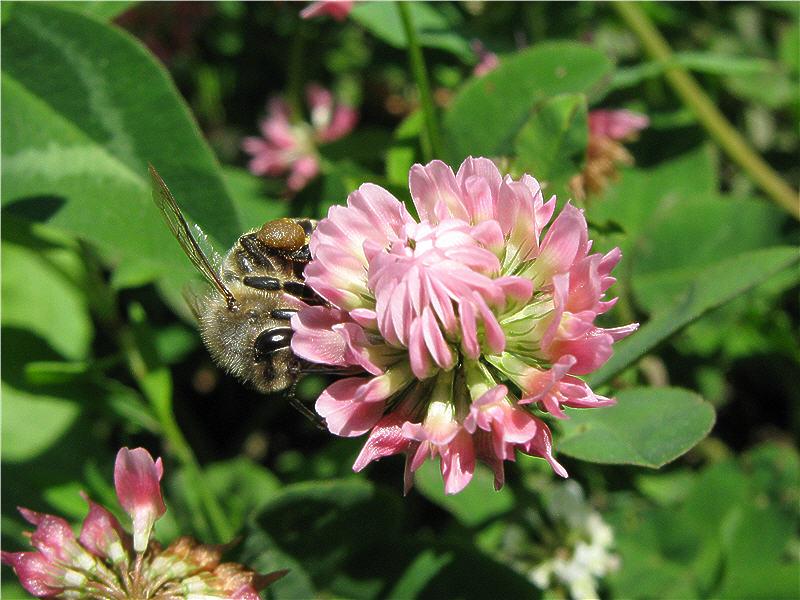 Пчела на клевере розовом