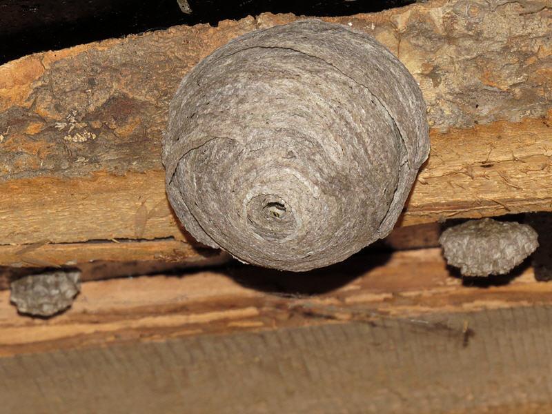 Гнездо ос на чердаке