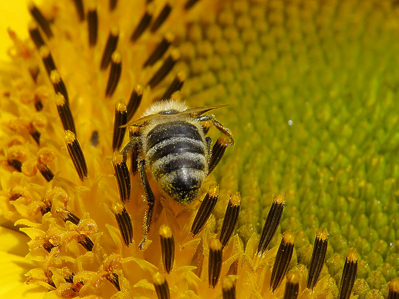 Пчела на цветке подсолнуха