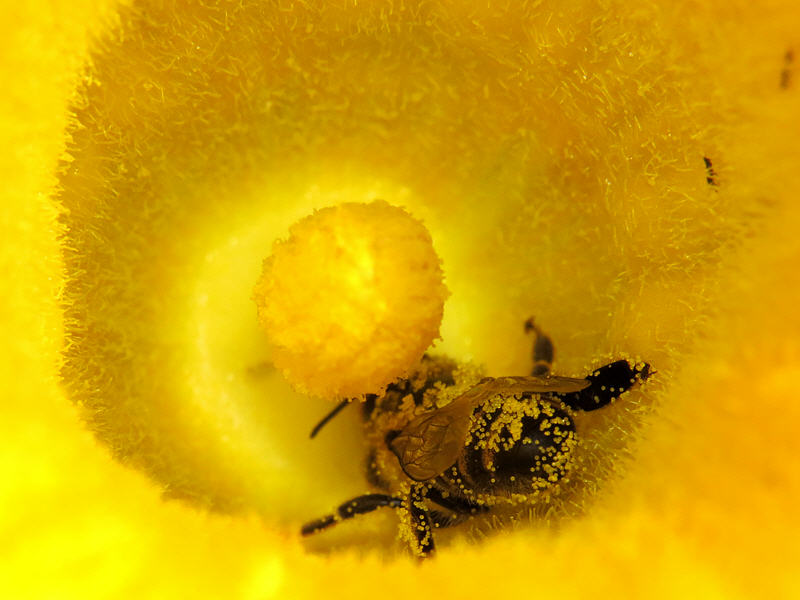 Пчела и пыльца тыквы