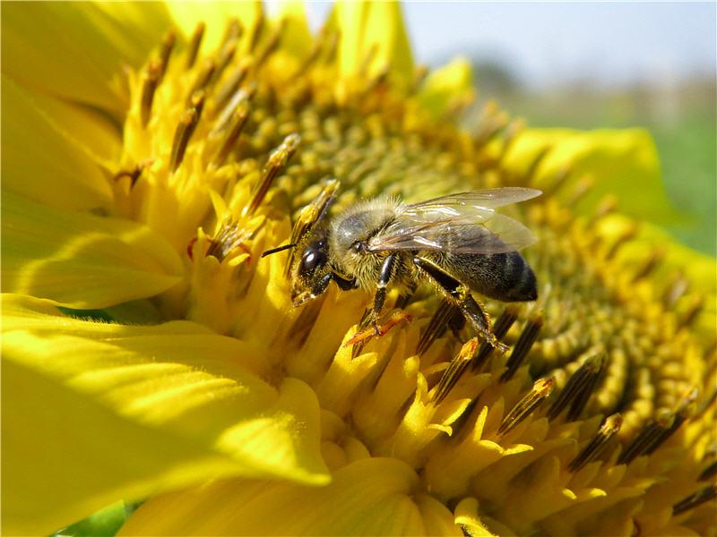 Пчела на цветках подсолнуха масличного