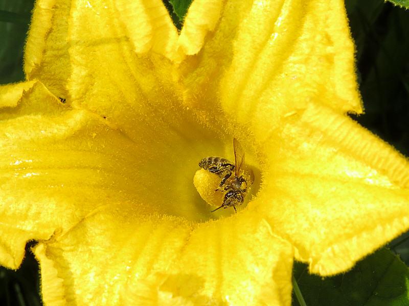 Медоносная пчела опыляет тыкву