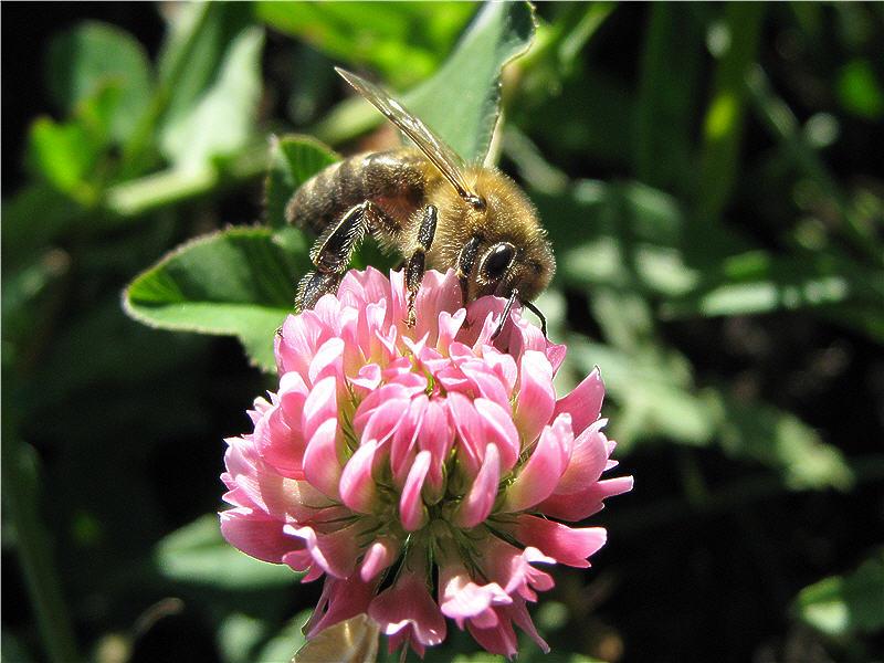 Пчёлка на клевере гибридном
