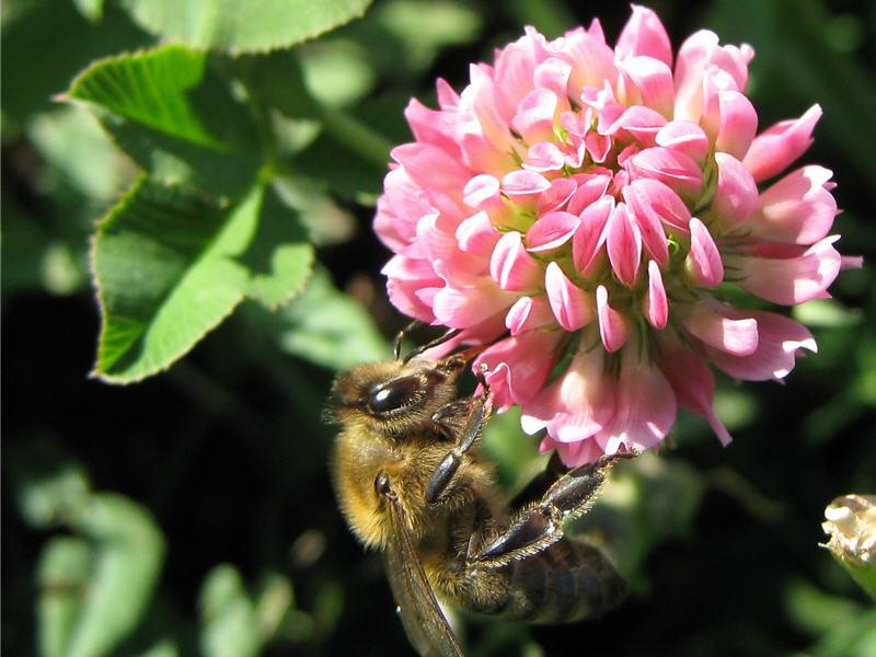 Пчела посещает розовый клевер