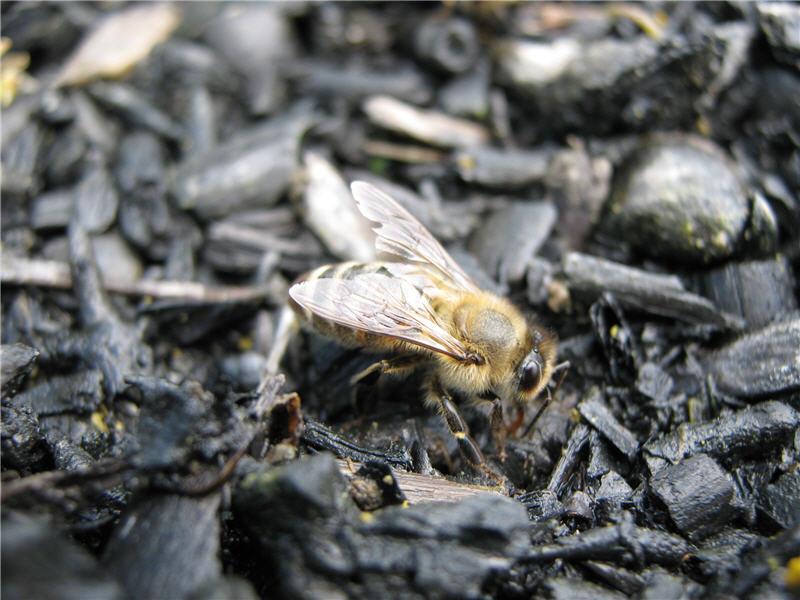 Пчела набирает воду