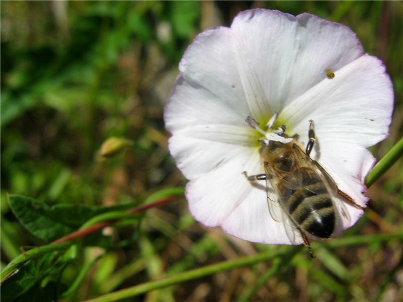 Пчела на вьюнке полевом