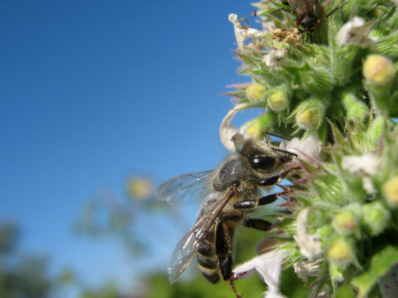 Пчела и мелисса
