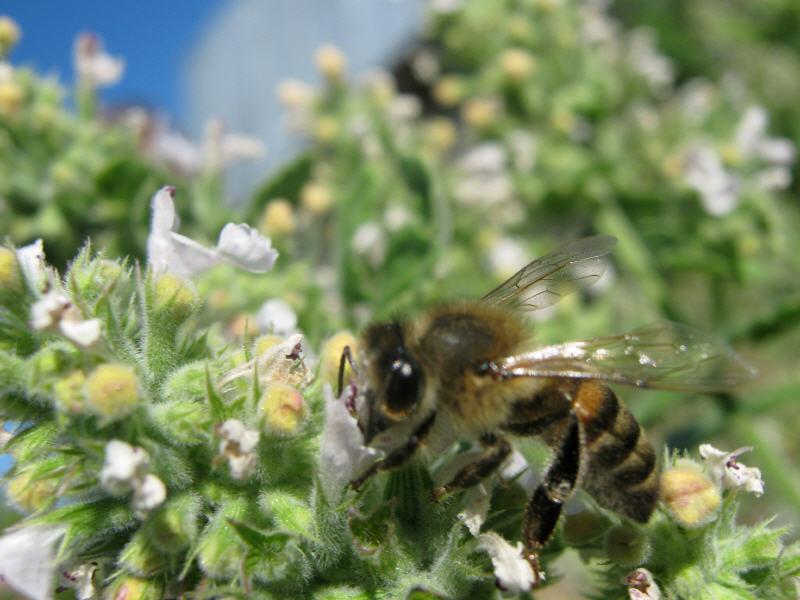 Пчела на цветках мелиссы