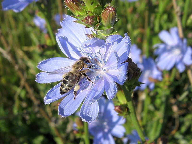 Пчела на цветке цикория