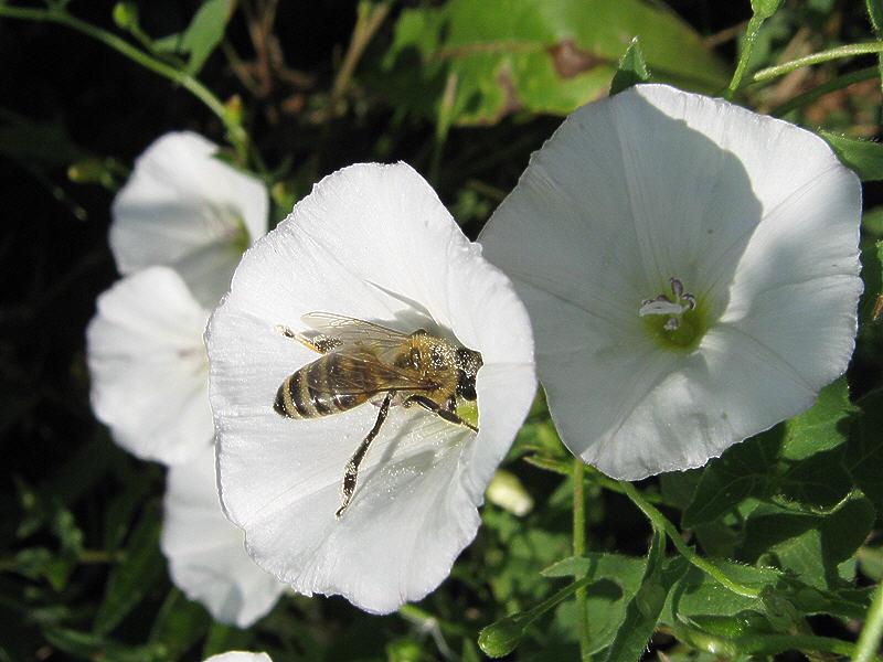 Пчела на цветке вьюнка