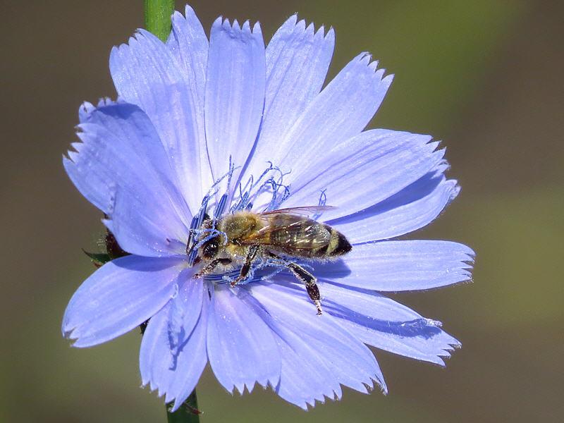 Пчела собирает нектар