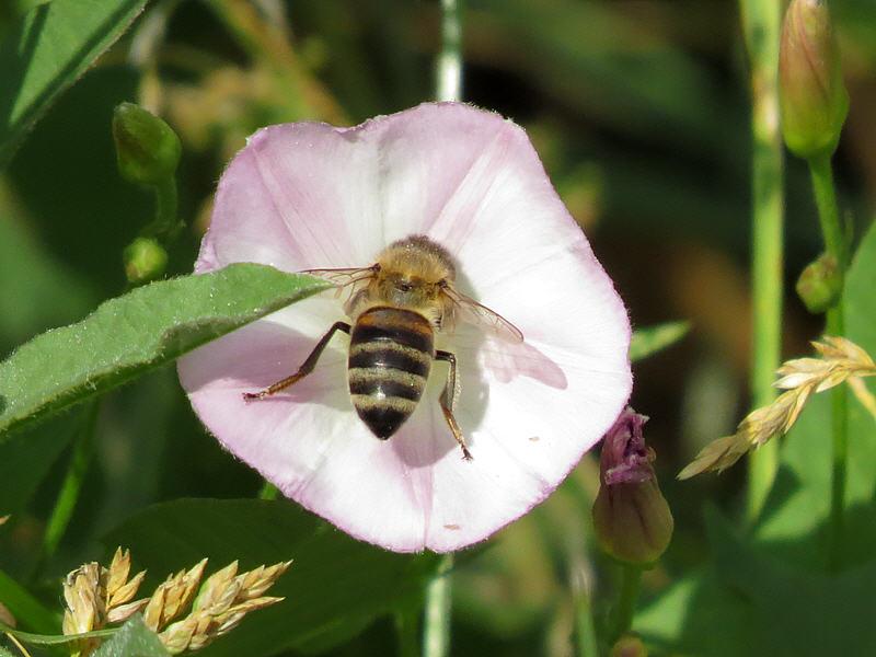 Вьюнок полевой медопродуктивность