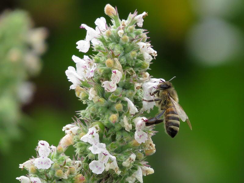 Пчела на цветках котовника