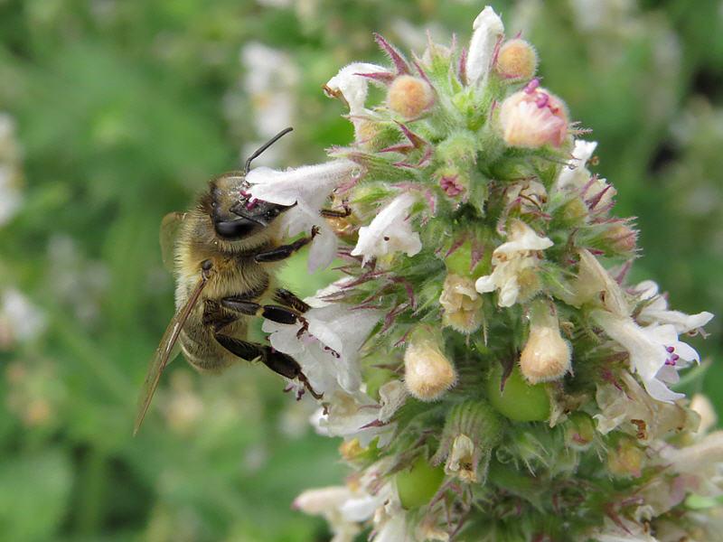 Пчела и котовник лимонный
