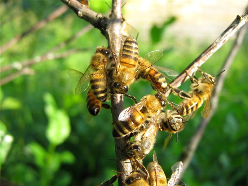 Пчелы на ветке