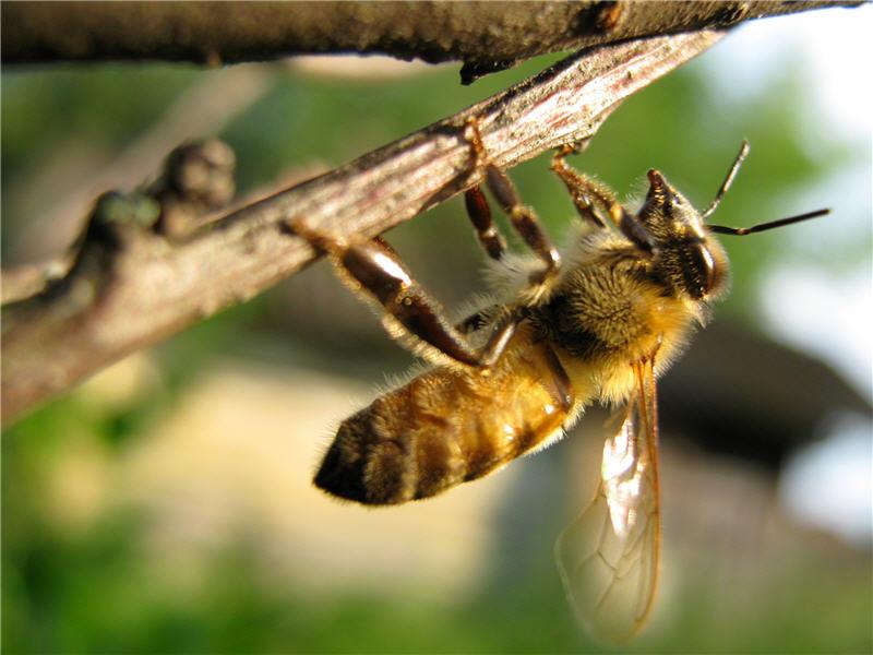Пчела на ветке