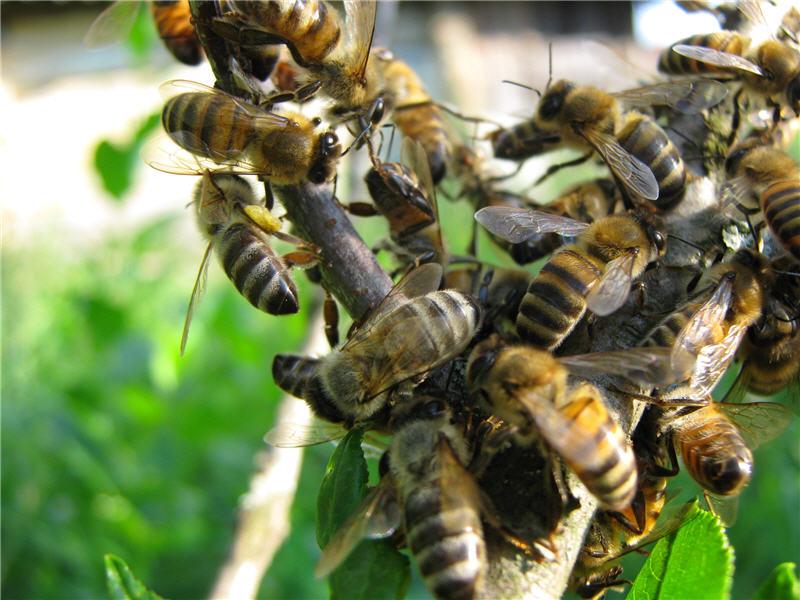 Остатки пчелиного роя