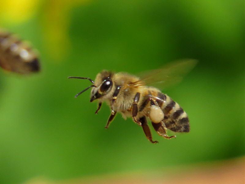 Сколько живёт пчела?