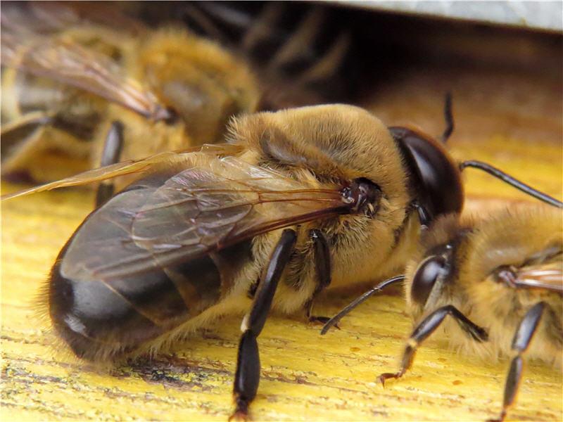 Сколько живёт трутень пчелиный?