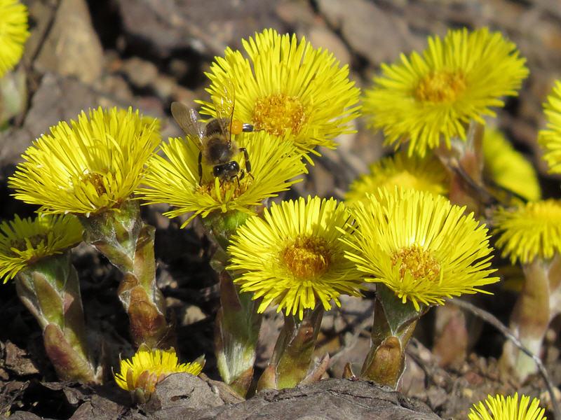 Пчёлы на цветках мать-и-мачехи