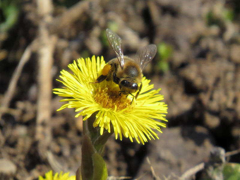 Медоносная пчела и цветок мать-и-мачехи