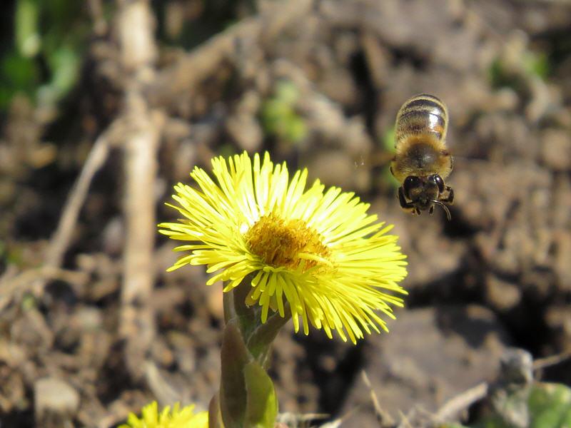 Пчела формирует обножку