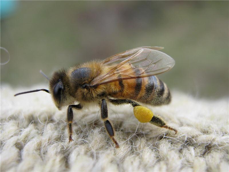 Пыльца жёлтая