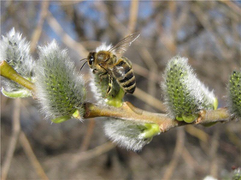 Пчёлы посещают иву-бредину