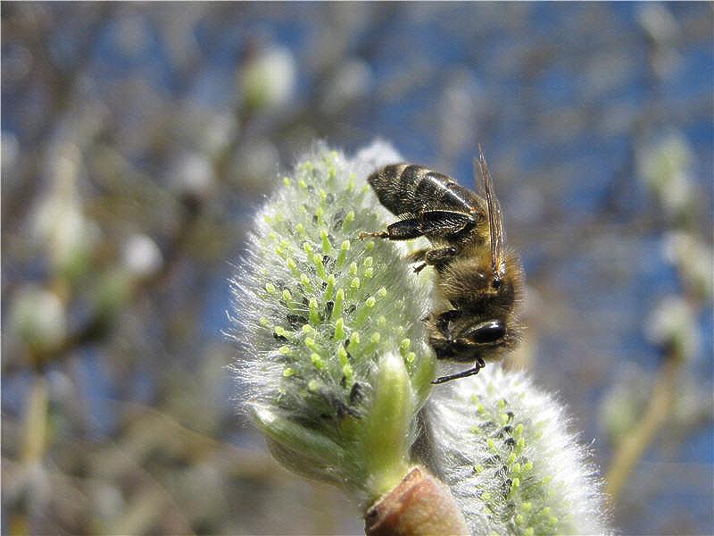 Пчела на цветке ивы-бредины