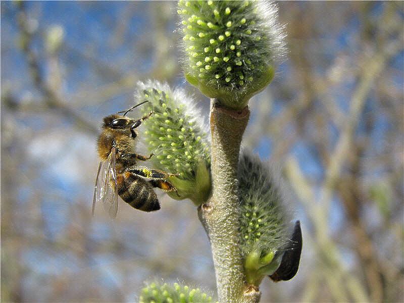 Ива - весенний пыльценос и медонос