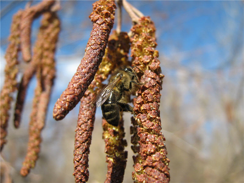 Осина пыльценос