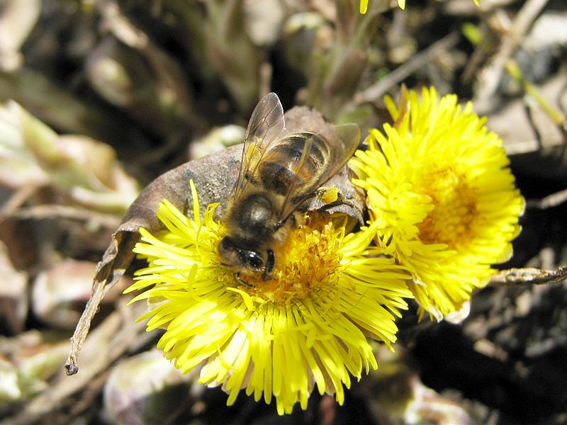 Пчела на цветке мать-и-мачехи