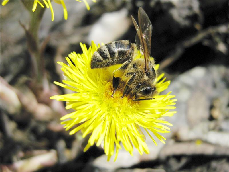 Пыльца с мать-и-мачехи