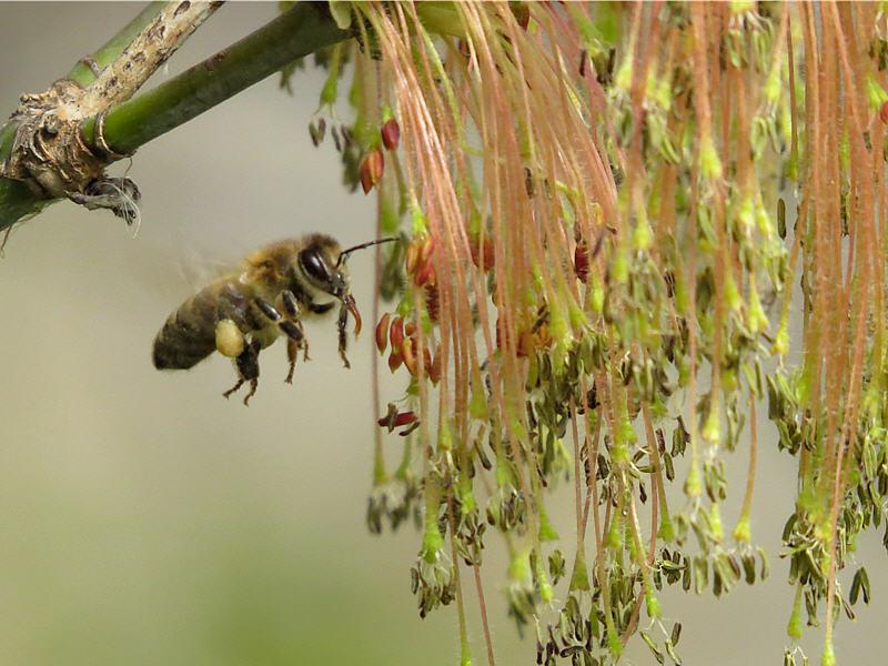 Пчела около цветка клёна американского
