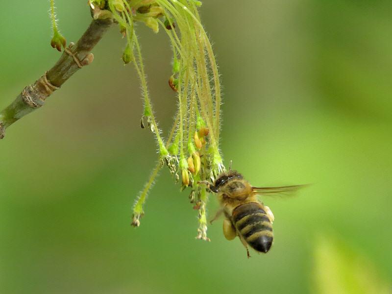 Пчела на соцветиях клена американского