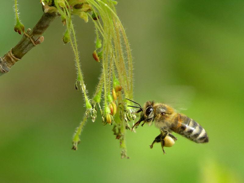 Пчёлы на цветках клёна ясенелистного