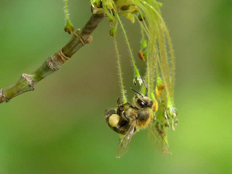 Пчела на цветках клёна