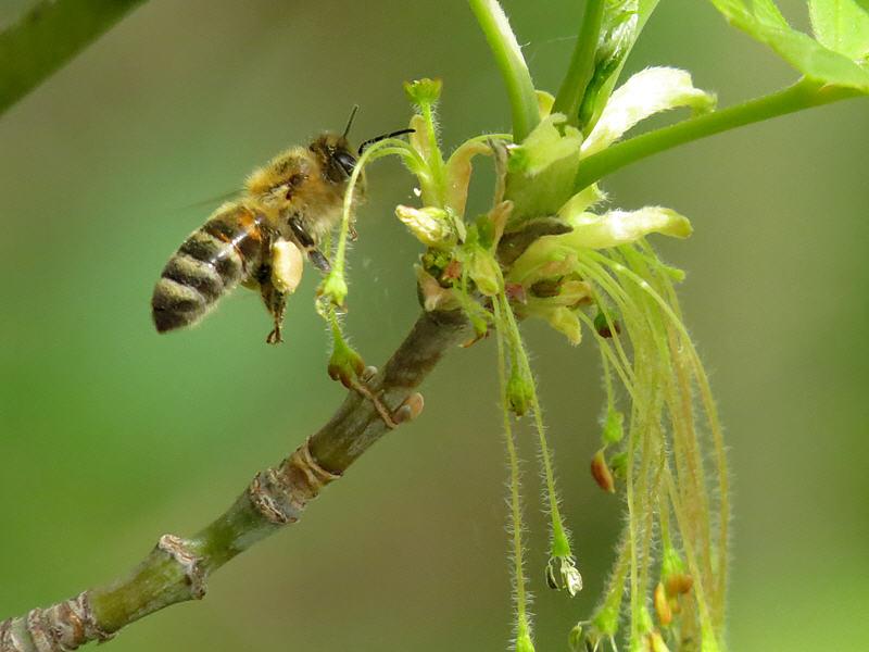 Пчела и соцветие клёна ясенелистного