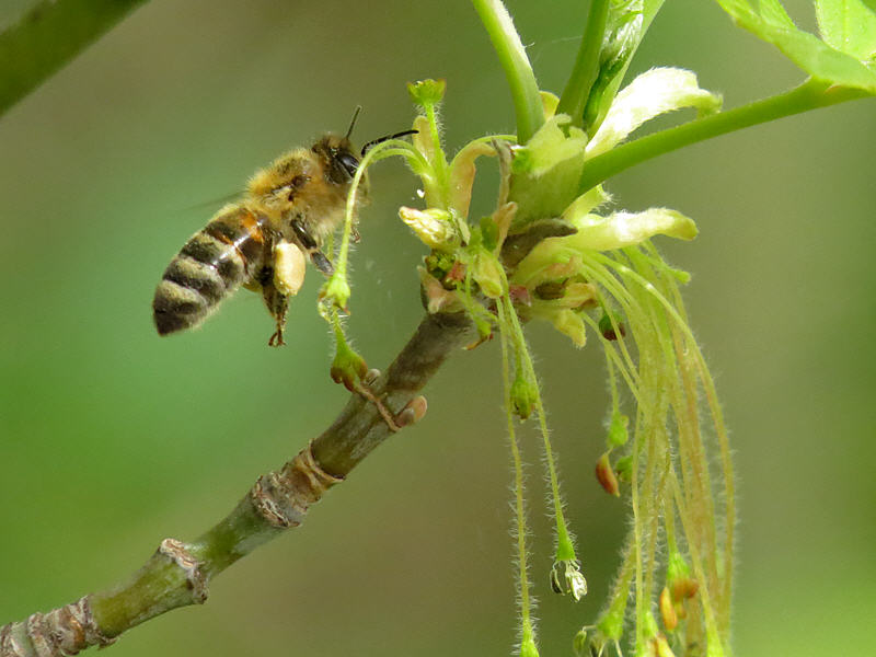 Пчела на соцветиях клёна