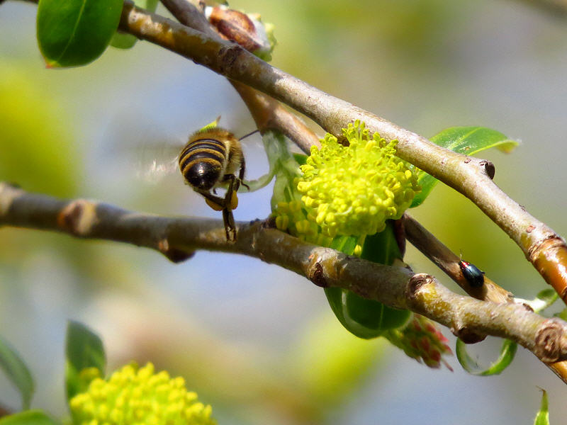 Полёт пчелы около цветка