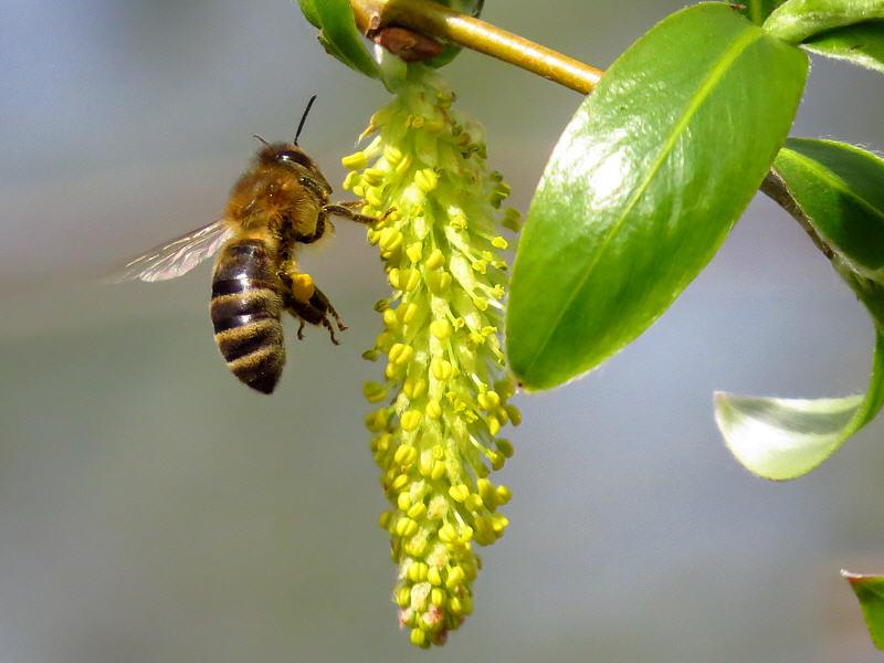 Сбор пыльцы-обножки